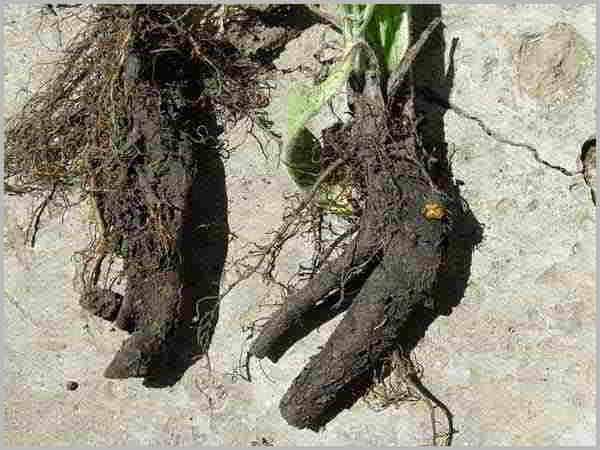 Настойка из корней окопника